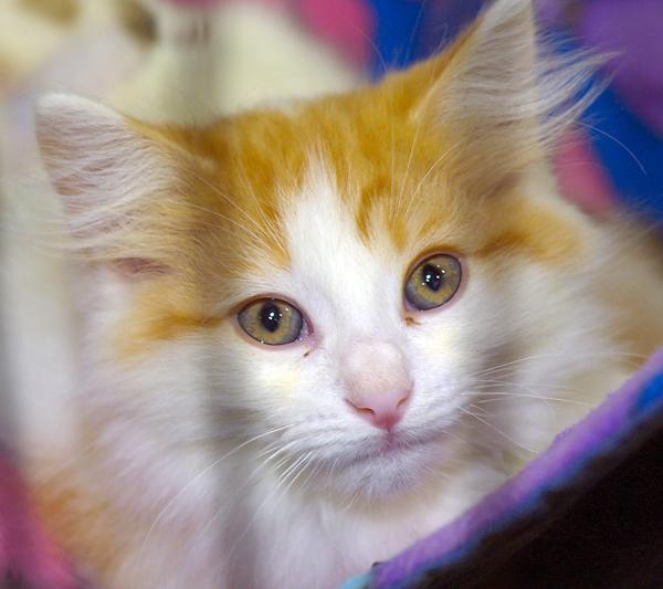 SICSA has a number of kittens available for adoption. Like the adult cats, they are current on all of their shots, tested for feline leukemia and AIDs and are microchipped.