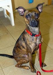 Sammy is a 1-year-old Boston Terrier and Italian Greyhound mix who has been at SICSA since April. He loves people and other dogs.