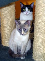 Sasha (front) and Chipper (back) are 1-year-old siblings who have been at SICSA since August 2010. They must be adopted as a pair in order to keep the family together.
