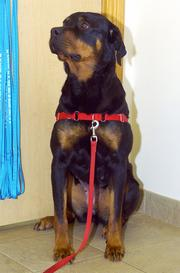 Gertie is a 2-year-old purebred Rottweiler who has been at SICSA since June 1. She loves people and prefers to be the only dog in a household.