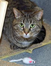 Nicole is a 3-1/2-year-old cat who has been at SICSA since February 2009. She is shy at first but then very affectionate. She prefers quiet and is a lap cat.