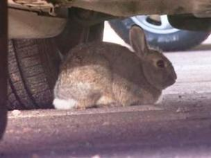 Bunnies are causing thousands of dollars in damage to cars parked at DIA.