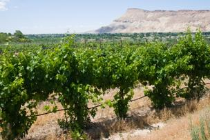 A vineyard in the Palisade area of Colorado's Western Slope.