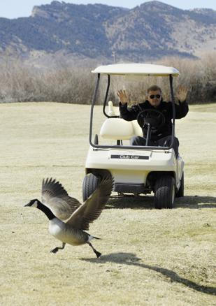Jim Wilkins, manager of golf operations at West Woods Golf Club in Arvada, scares away a goose on the course. Wilkins says the cost of cleaning up after the geese is sizeable.