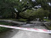 An oak tree blocking the the road in Murray Hill at the corner of Talbot Avenue and Kerle Street.