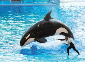 Killer Whale Performing at SeaWorld, Orlando