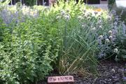 Chives, lavender, mint and other herbs were lovingly planted and marked by volunteer Master Gardeners at Saint Luke's.