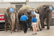 Head pieces were adjusted on the elephants before their walk through downtown Louisville.