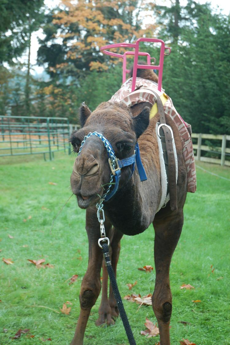 The Memphis Zoo will offer camel rides to visitors beginning March 1.