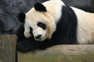 FedEx will be delivering two pandas from Chengdu, China to the Toronto Zoo.
