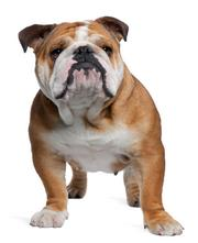 4. (tie) bulldog