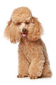 4. (tie) poodle