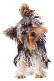 8. Yorkshire terrier