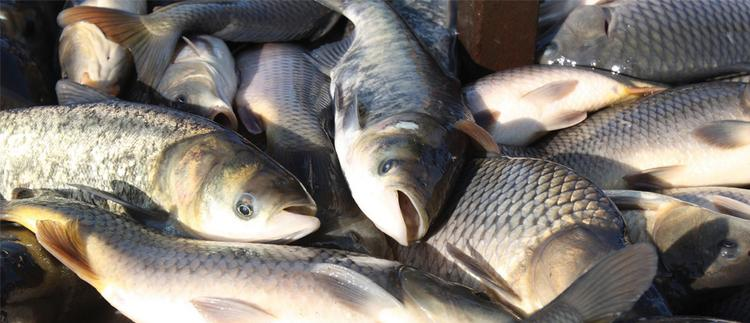 Tennessee fisherman want to remove the destructive Asian carp from the state's waterways.