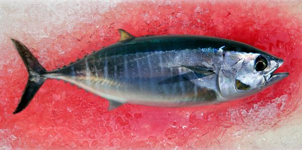 Pacific bluefin tuna are carrying trace elements of radioactive isotopes.