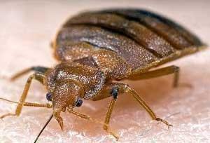 A bedbug. Yuck.