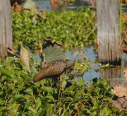 The color pattern of a limpkin allows it to blend perfectly into its natural surroundings.