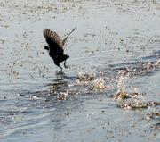 A marsh hen seems to run on water as it skims the surface before taking flight.
