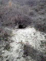 This is what a gopher tortoise burrow looks like, shaped like the shell of the tortoise.