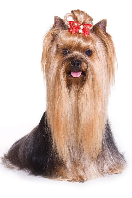 The Yorkshire Terrier was Orlando's most popular dog breed in 2012.