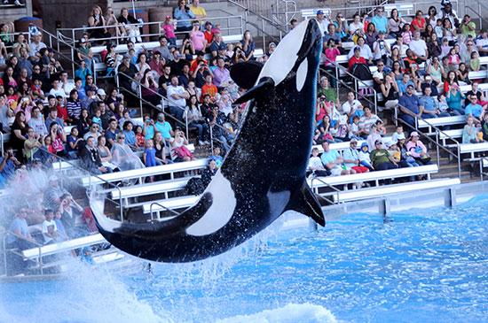 A killer whale leaps out of the water during SeaWorld Orlando's One Ocean show.
