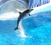 A dolphin leaps from the pool at the start of the Blue Horizons show.