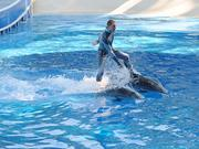 A SeaWorld trainer puts Segways to shame as he gets a ride from two dolphins.