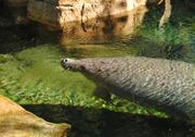A manatee enjoys an afternoon swim at Turtle Trek. That's right, it's not just about sea turtles.