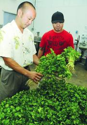 Allen Woo inspects a delivery of fresh cilantro from Mit Sivongxay of Outh Farms in Waianae. The cilantro will go through a quality-control process before being delivered to Manson Products Co.'s customers.
