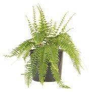 Large fern (rental): $43