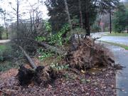 Uprooted trees in Horsham.
