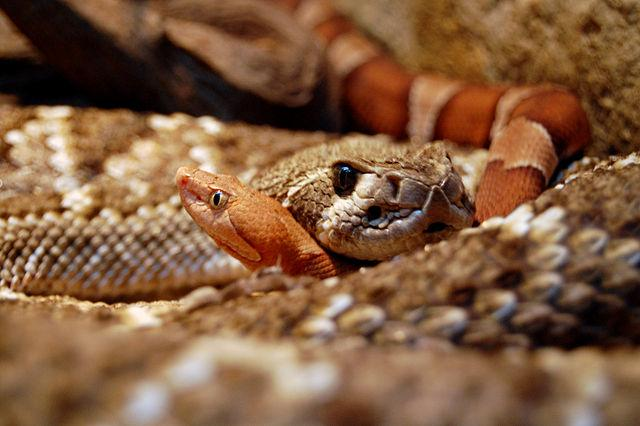 The summer heat sends rattlesnakes looking for some cool spots sometimes in garages, storage units and other buildings.