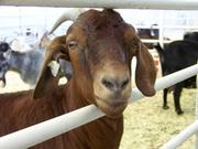 The attendance figures do not include the goats at the fair's petting zoo.