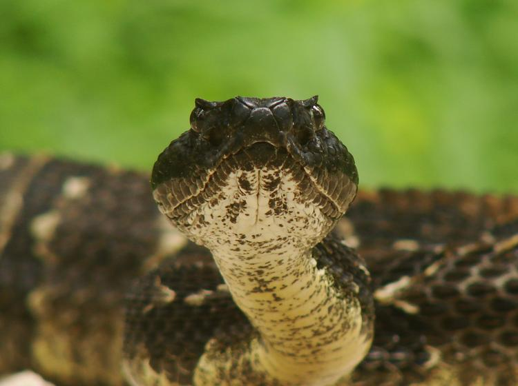 A couple of snake lovers are thinking about starting a company to advise Marcellus shale drillers about how to avoid rattlesnakes. Photo courtesy of Pennsylvania Fish and Boat Commission