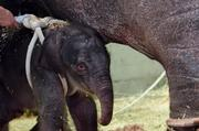 "The new elephant calf at the Oregon Zoo has been described by keepers as a real ""spitfire."""