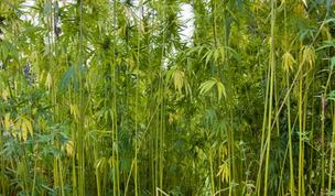 A bill legalizing hemp farming in Tennessee is being drafted.