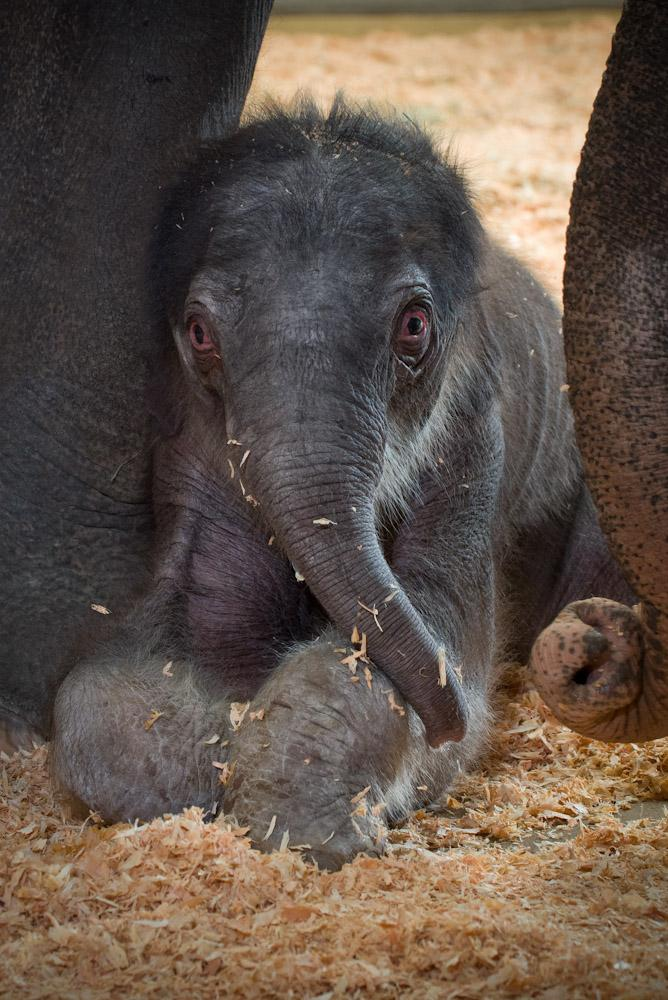 Negotiations are underway to keep the Oregon Zoo's new elephant calf with its mother.