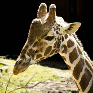 Coming back? The Minnesota Zoo's master plan calls for features like giraffe-feeding areas.