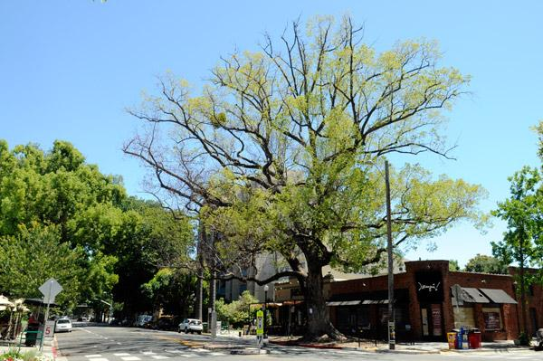 A 126-year-old camphor tree on the southeast corner of 18th Street and Capitol Avenue — an icon in the Handle District — is dying from disease, according to the city arborist. The tree was supposed to be cut down Wednesday, but the removal has been delayed to allow time for business owners and residents to pay homage to the tree.