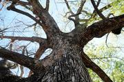 A 126-year-old camphor tree on the southeast corner of 18th Street and Capitol Avenue is dying. It will be replaced by a tree that is less susceptible to the wilting disease.It was full of green leaves this spring, but has rapidly declined in health in the past couple of months, leaving many barren branches.