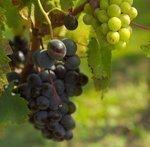 California wine grape production drops 7%