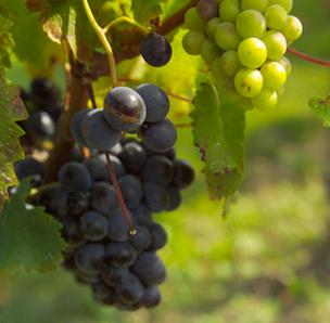 California wine grape crush report down 3.3 million tons