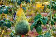 Melons growing in greenhouse at Syngenta Seeds Inc. in Woodland.   The story was about the growth of seed research labs in Woodland.