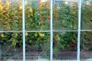 Syngenta Seeds Inc. is undergoing an $11.2 million expansion in Woodland. This image of plants in a green house window reminded me of a painting. I wanted the the focus on the window and moisture on the glass. I set my aperture to f/2.8 which give a very shallow depth of field, making the tomatoes appear slightly out of focus.  The story was about the growth of seed research labs in Woodland.