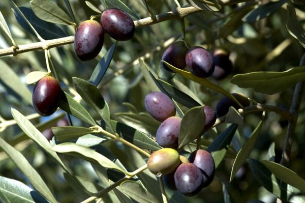 The olive oil industry produces more than 600 million gallons of wastewater per year and the industry is looking for new ways to save water and reduce discharge fees.