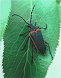 The valley elderberry longhorn beetle that has been blamed for holding up development projects in the Sacramento region has increased its range and presence, is no longer threatened and should be removed from the Endangered Species List, the U.S. Fish and Wildlife Service recommends.