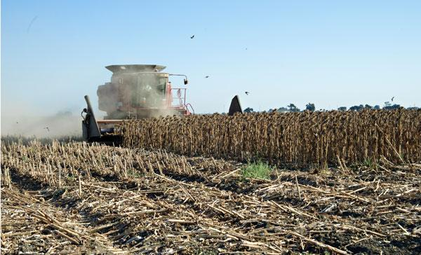 Sunflowers are harvested in the town of Yolo in September. The seed industry is flourishing locally.