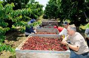 Ken Oneto helps workers pick out the rain-damaged cherries from the harvested crop.