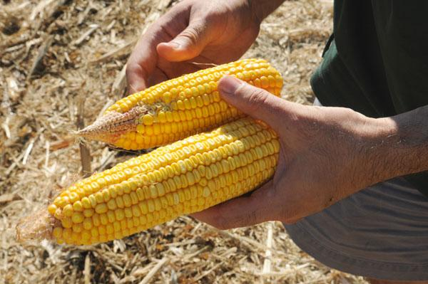 DuPont Pioneer in Woodland has doubled its drought research for corn.