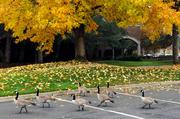 Geese and tenants alike enjoy the park-like setting of the Lake Forest Tech Center, near the American River.